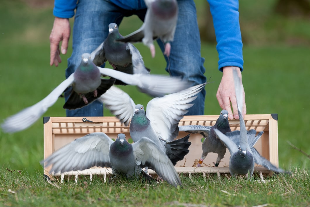 Pigeon Race Results